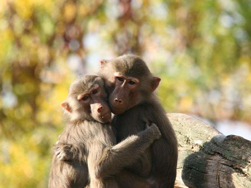 Das Tierkreiszeichen Affe im chinesichen Horoskop | Foto: © istockphoto.com