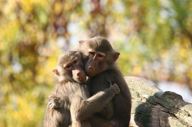 Chinese animal zodiac sign Monkey / copyright: istockphoto.com