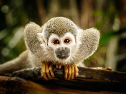 Chinese Horoscope - Wood - Monkey | photo: (c) LindaPhotography - stock.adobe.com