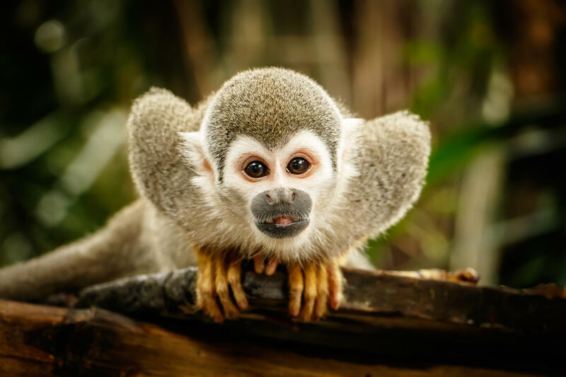 Chinese Horoscope - Wood - Monkey | photo: (c) LindaPhotography - stock.adobe.com