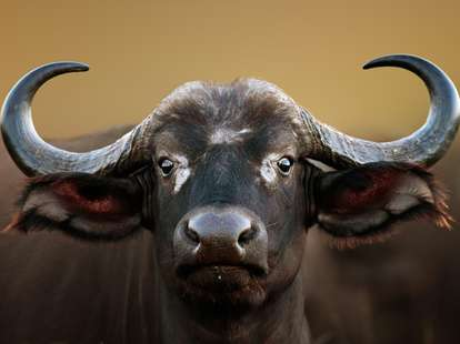 Chinese Horoscope Earth - Ox | photo: (c) JohanSwanepoel - stock.adobe.com