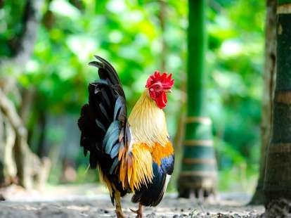 Chinese zodiac sign Rooster (Photo © thongsan - stock.adobe.com)