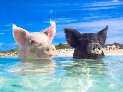 Year of the Pig – Chinese Horoscope 2019 – astrosofa.com  | photo: (c) zach - stock.adobe.com
