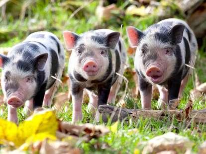 Year of the Pig 2019| photo: (c) karepa - stock.adobe.com