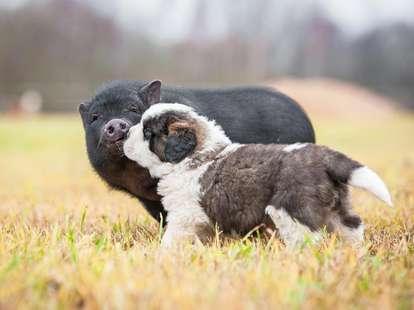 Jahr des Schweins 2019 | Foto: (c) Grigorita Ko -  stock.adobe.com