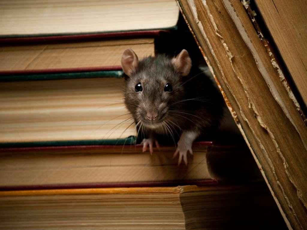 The Chinese animal zodiac sign rat (Foto: © FalconScallagrim - istock.com)