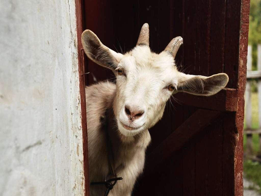 Chinese animal zodiac sign Goat (Photo: © rostyle - fotolia.com)