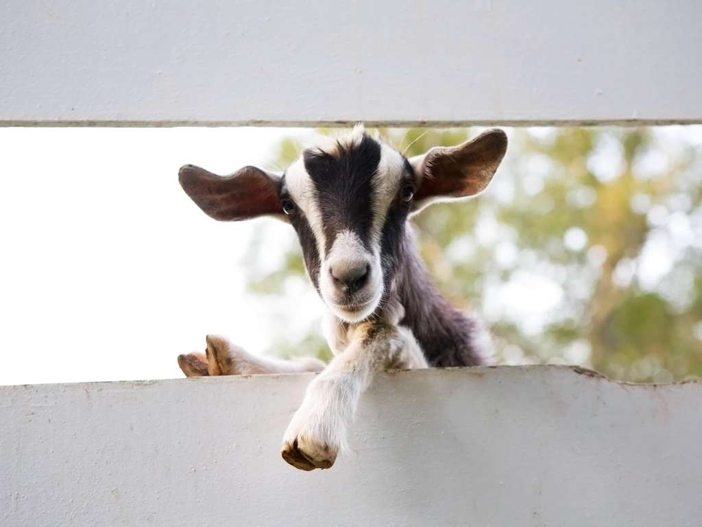 Chinese animal zodiac sign Goat | Photo: © iStockphoto.com/nikidavison