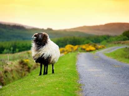 Das Feuer - Schaf im chinesischen Horoskop | Foto: (c) MNStudio - stock.adobe.com