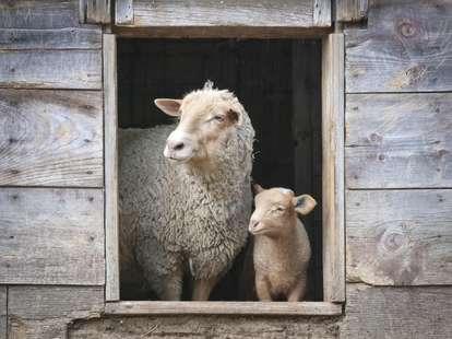 Das Holz - Schaf im chinesischen Horoskop | Foto: (c) brandtbolding - stock.adobe.com