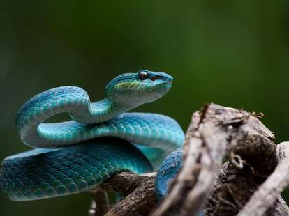 chinese horoscope - Earth - Snake | photo: (c) Deki - stock.adobe.com