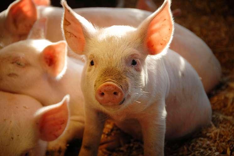 Chinese animal zodiac sign Pig (photo: © NeilyImagery -  istockphoto.com)
