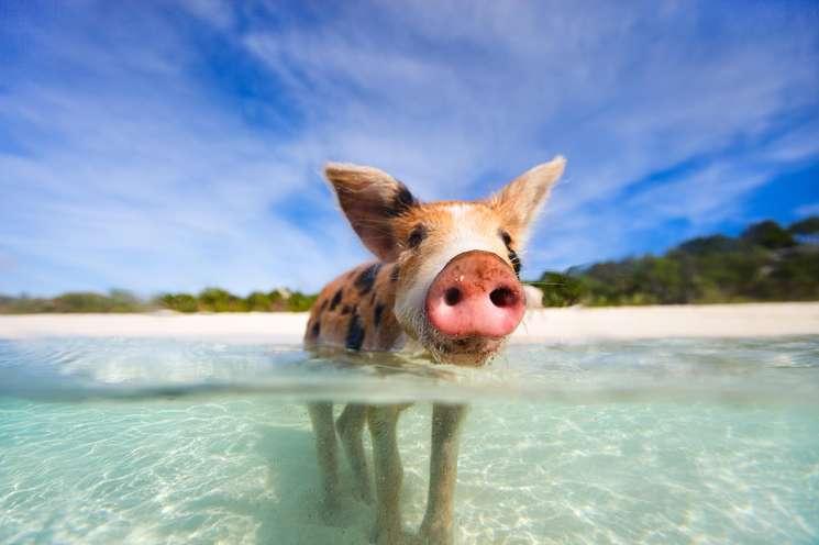 Chinese animal zodiac sign Pig| photo: © BlueOrange Studio -  stock.adobe.com