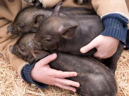 Das Holz - Schwein im chinesischen Horoskop | Foto: (c) galitsin - stock.adobe.com