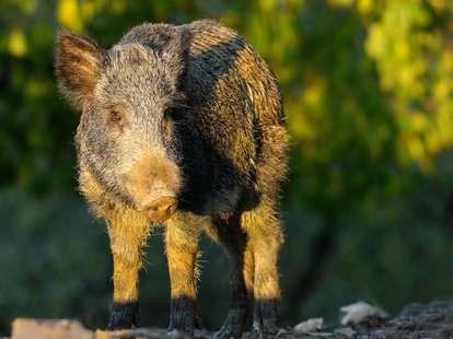 Chinese Horoscope - Earth - Pig | photo: (c) taviphoto - stock.adobe.com