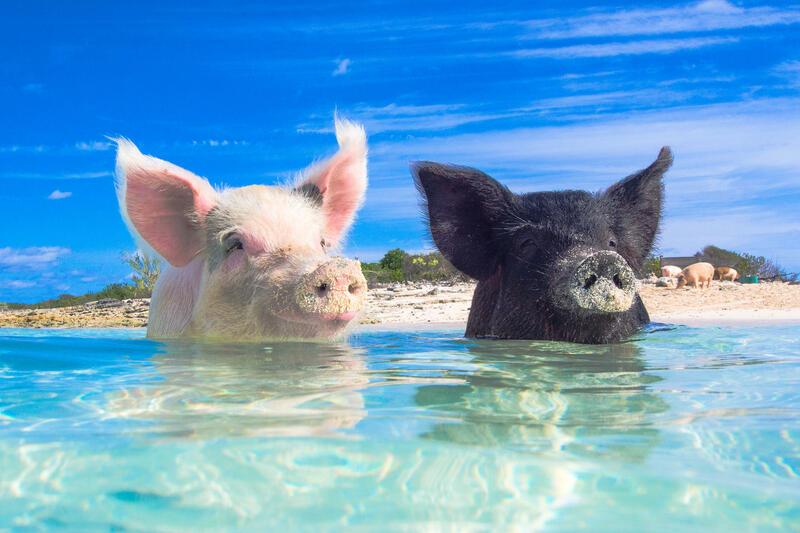 Chinese Horoscope - Water - Pig | photo: (c) zach - stock.adobe.com