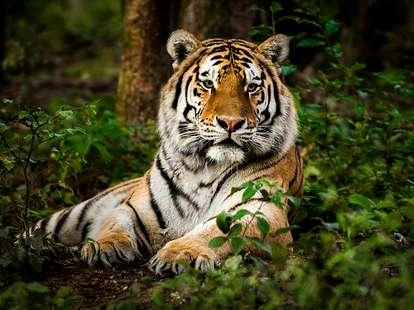 Chinesische Sternzeichen Tiger (Foto: © iStockphoto.com/Zocha_K)