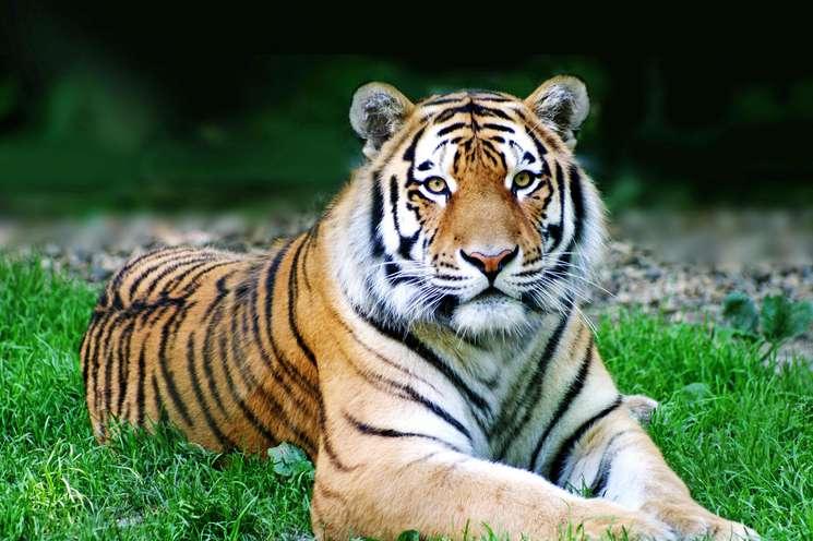 Chines animal zodiac sign Tiger (Photo: © Thaut Images - Fotolia.com)