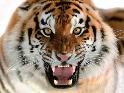 Chinese horoscope - Fire - Tiger | photo: (c) Uryadnikov Sergey - stock.adobe.com