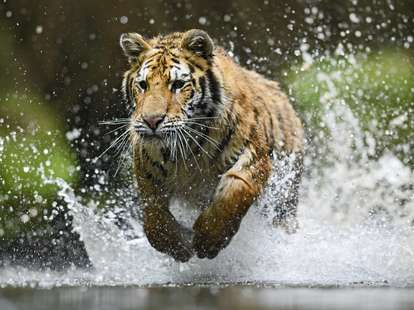 Chinese horoscope - Water - Tiger  | photo: (c) David - stock.adobe.com