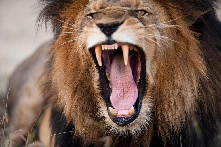 Löwen sind geborenen Anführer, ihr Element ist das Feuer. | Foto: © edan - stock.adobe.com
