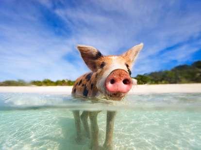 Chinese animal zodiac sign Pig