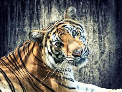 Chinese horoscope - Metal Tiger   photo: (c) Netfalls - stock.adobe.com