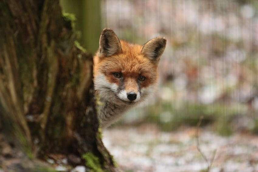 Ob wohl auch der Fuchs zu den Glückskindern der Woche gehört und fette Beute machen wird? (Foto: © Petra Kohlstädt - Fotolia.com)