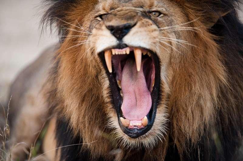 Man sollte sich vor einem eifersüchtigen Löwen in Acht nehmen...